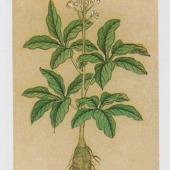 明《本草品汇精要》植物图一组【D】