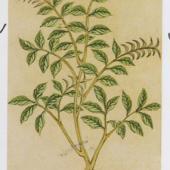 明《本草品汇精要》植物图一组【A】
