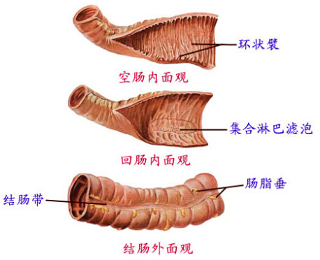 小肠环状襞
