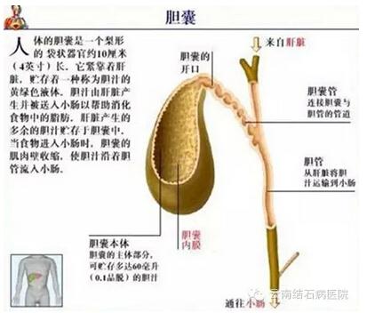 胆囊的内部图
