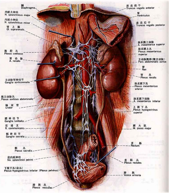 腹部器官与动脉血管