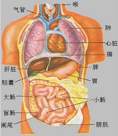 腹部器官位置图