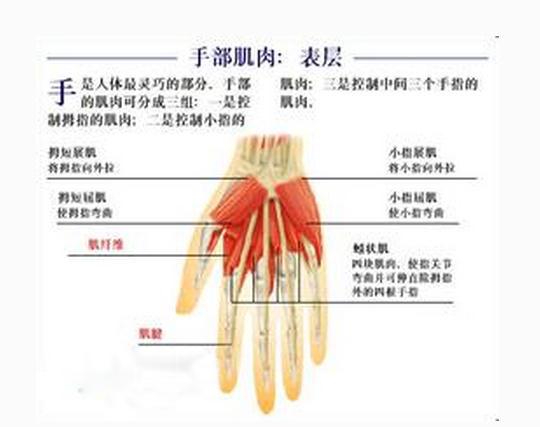 手部肌肉表层