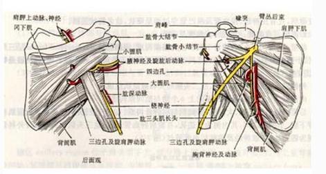 肩部和胸部肌片深层