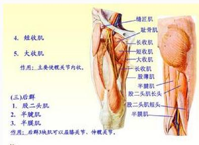 小腿肌群(左)