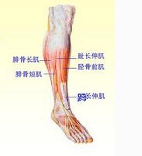小腿肌群外侧