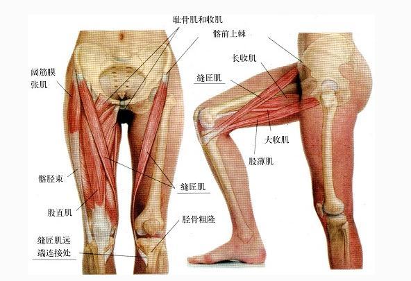 腿部肌肉(侧面观)
