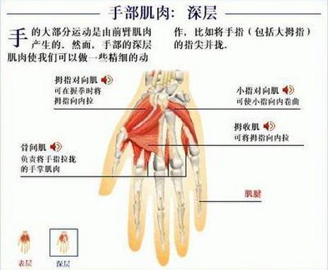 手部肌肉深层