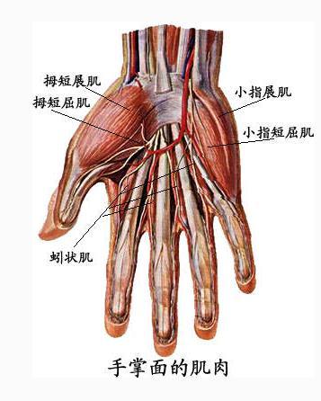 手掌肌肉(背面观)