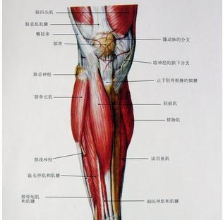 小腿肌肉表层