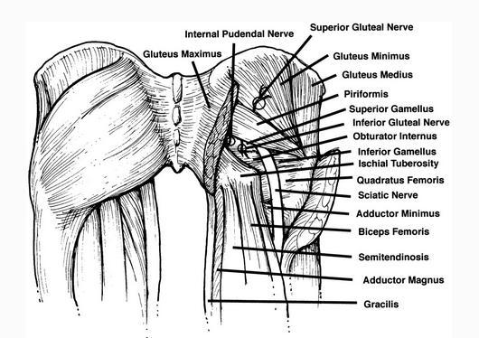 髋部肌肉剖面