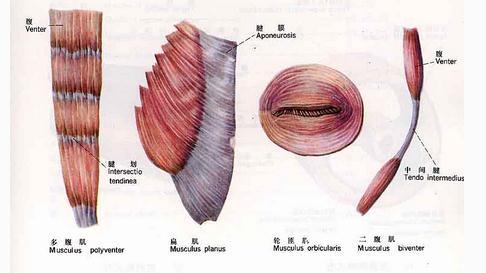 骨骼肌的各种形态一