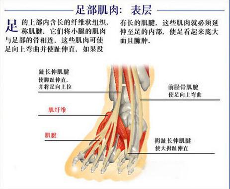 足部肌肉表层
