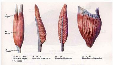 骨骼肌的各种形态二