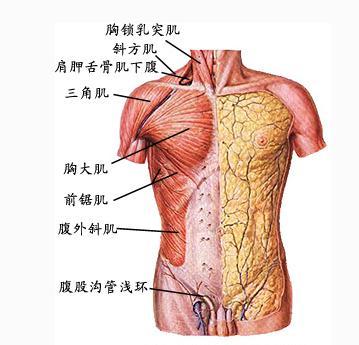 肩部和胸部肌片表层