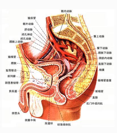 肾的被膜(矢状切面)