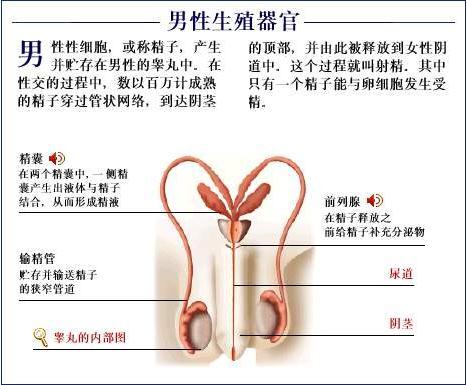 男性生殖器官