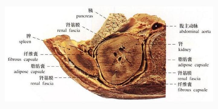 肾的横断面构造