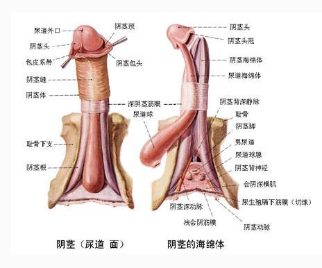 阴茎的详细构造
