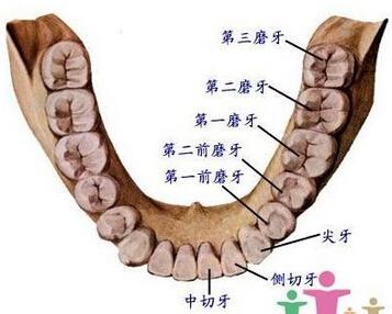 牙分类和位置