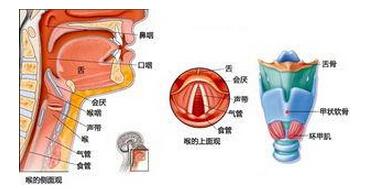 喉中部构造