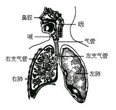 呼吸系统模式图