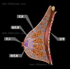 女性乳房侧面图