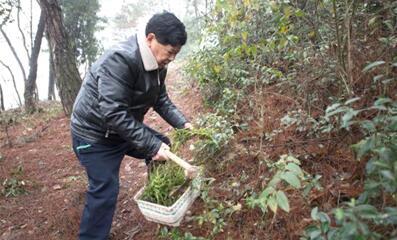 吴光潮在梅塘村一座小山上采集草药