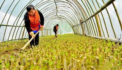 中药材育苗基地大棚给种苗松土、除草