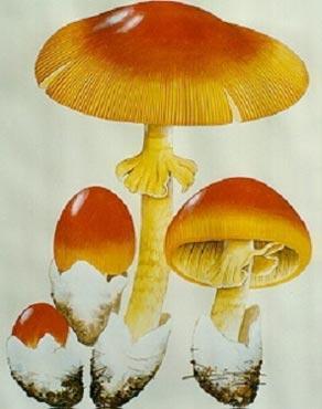 橙盖鹅膏菌