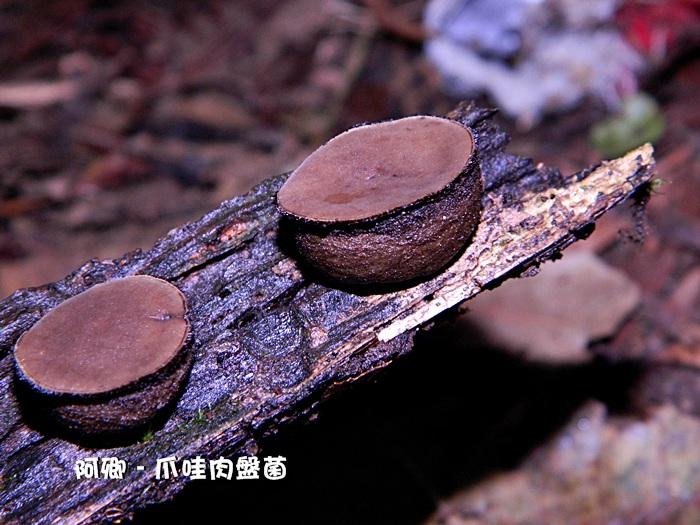 爪哇肉盘菌